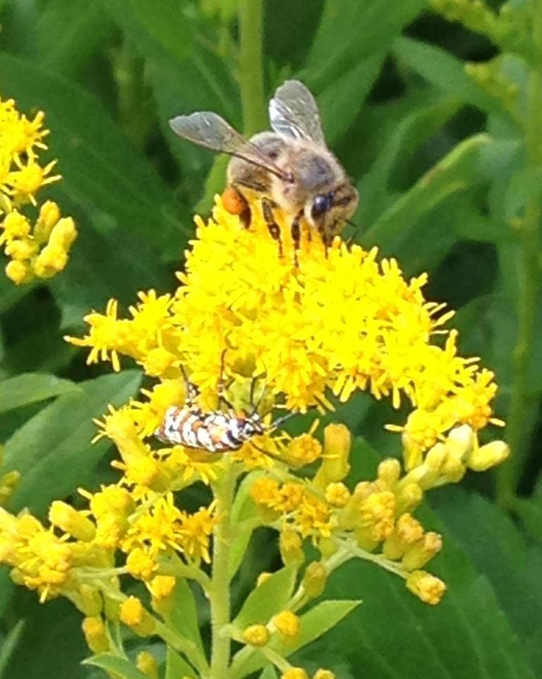 Honey-Bee-Ermine-Moth (002)